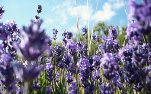 lavender-flowers-1920x1200